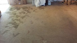 Pet Stains Carpet Before Cleaning